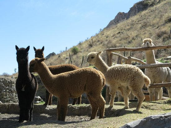 Colca Lodge Spa & Hot Springs - Hotel: Rancho Alpaca