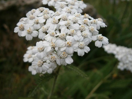 Banff Gondola : mountain flowers