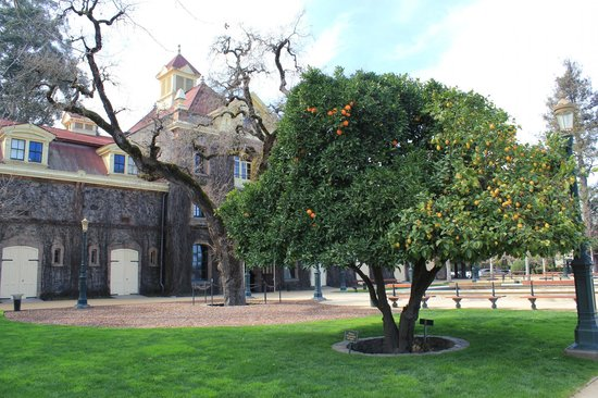 Inglenook : We were amazed by this hybrid lemon and orange tree!