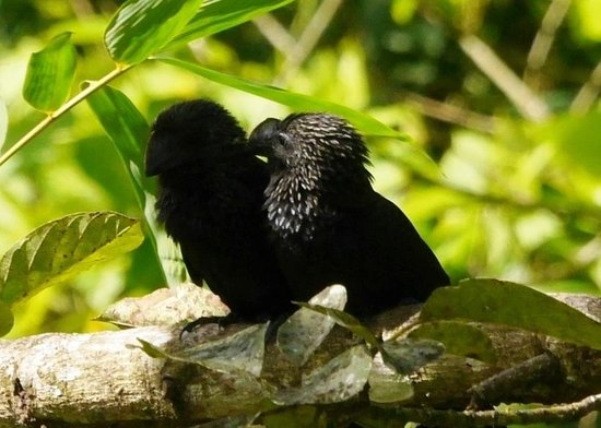 Cuffie River Nature Retreat and Eco-Lodge: Smooth billed ani near pool