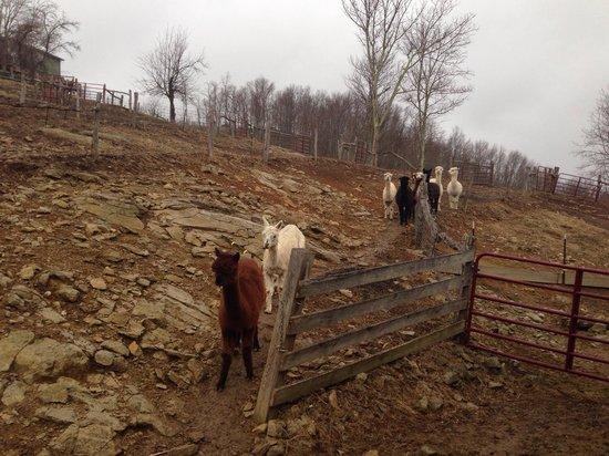 Apple Hill Farm: Alpacas!