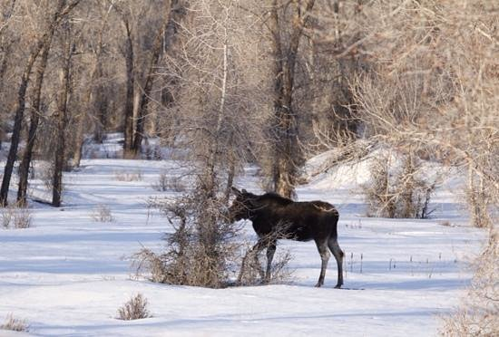 BrushBuck Wildlife Tours - Day Tours: Moose #8 of the morning!