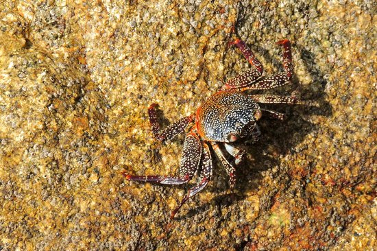 Barcelo Huatulco: One of the many crabs.