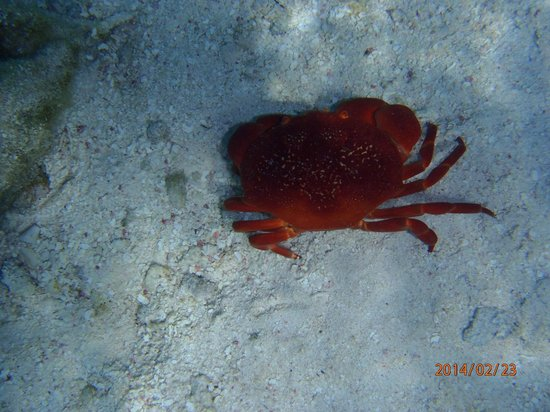Blackbird Caye Resort : Crab on sandy bottom