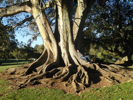 One Tree Hill (Maungakiekie) : Luca disteso su un albero secolare