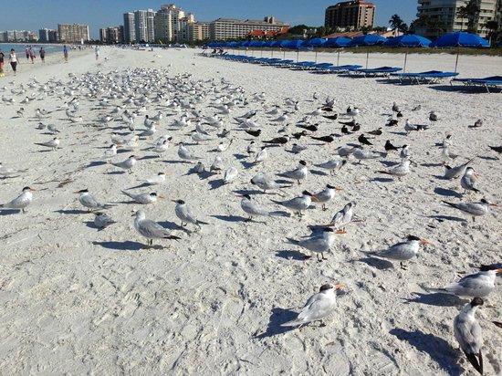 Hilton Marco Island Beach Resort : Birds on the Beach