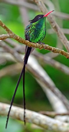 Barney's Flower & Hummingbird Garden Jamaica: A grown up male Doctorbird