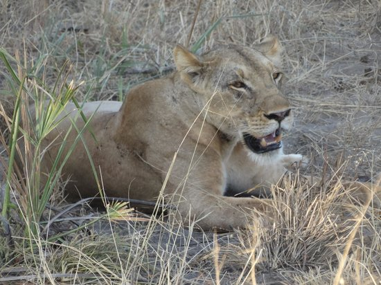 Simply Saadani Camp: My first sighting of a lion