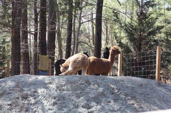 Museum of Life + Science: Alpacas  Farmyard
