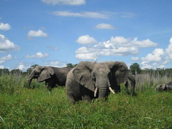 Central African Wilderness Safaris Mvuu Lodge: Elephants
