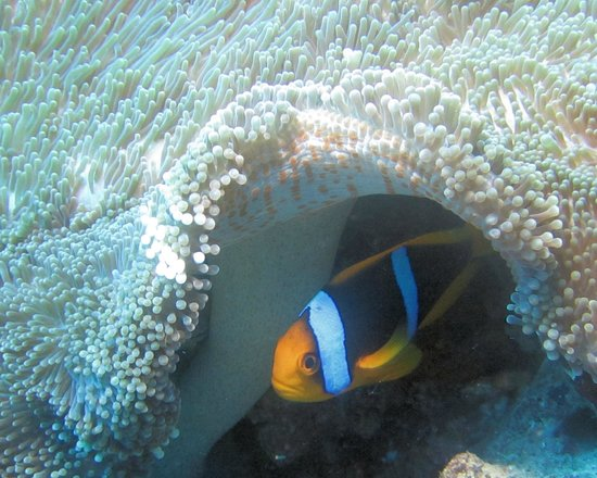 Daku Resort: Clown Fish and Anemone