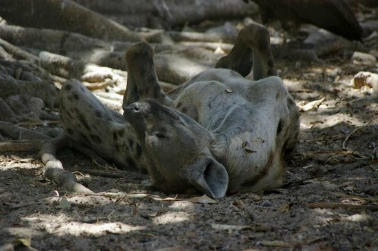 Hyena 2014 Review Hyena - Picture...