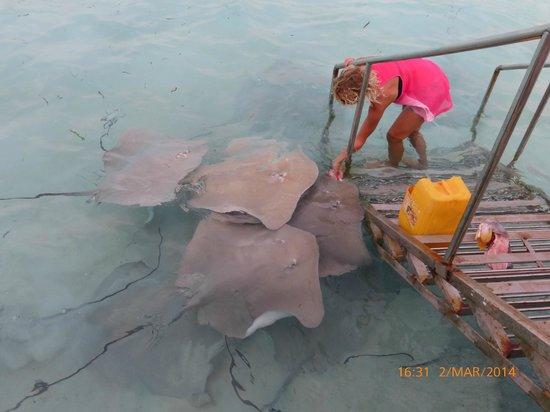 Cinnamon Hakuraa Huraa Maldives: Afternoon feeding of the rays