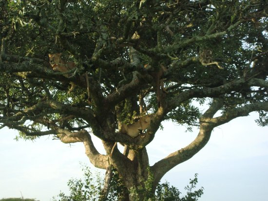 Dunia Camp, Asilia Africa: There are 4 lions asleep up there