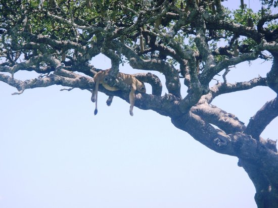 Dunia Camp, Asilia Africa: How can he be asleep up there!
