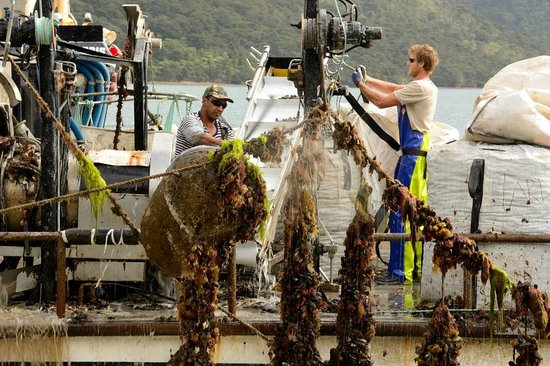 Pelorus Mail Boat: Mussel harvest