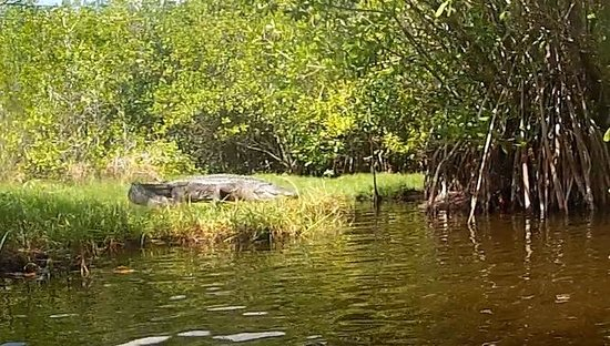 Tour the Glades : Gator running for cover...
