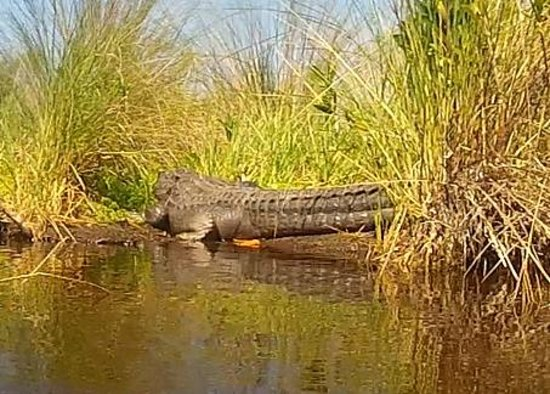 Tour the Glades : Gator basking in the sun...