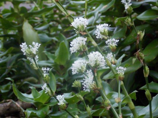 Waimea Valley: white flower