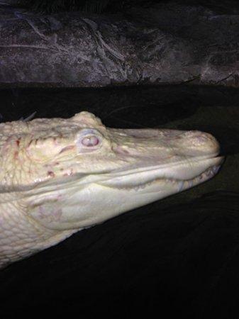 Georgia Aquarium : albino alligator