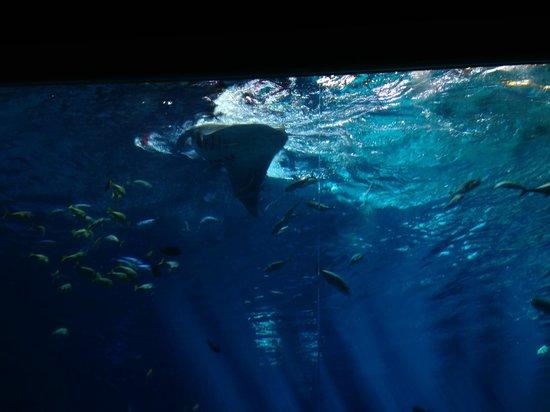 Georgia Aquarium : stingrays