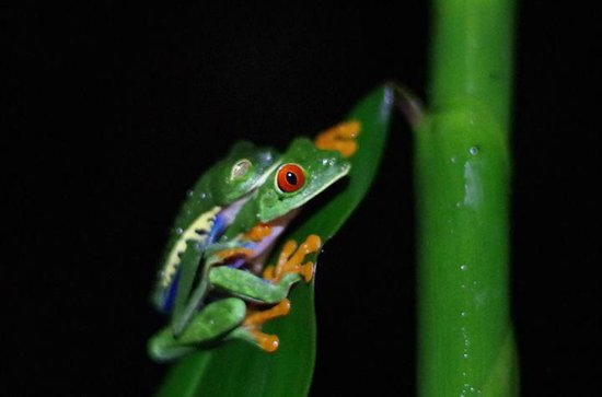 Finca Luna Nueva Lodge: Red Eyed Tree Frog