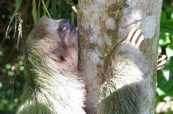 Finca Luna Nueva Lodge: Three Toed Sloth