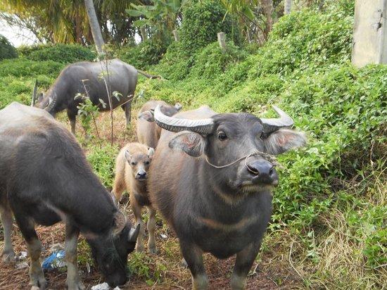 Riverside Garden Villas : our neighbours - water buffalo