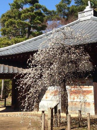 Tetsugakudo Park: 梅が綺麗です。