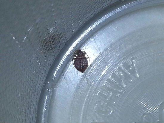 Motel 6 Gadsden: The bedbug I found in room 145.