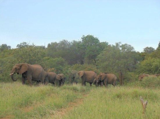 Isilimela Game Lodge: Elephants