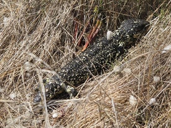 Granite Island - Victor Harbour: shingleback lizard