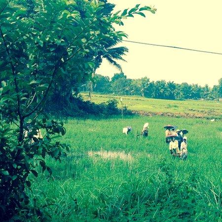 Nelpura Heritage Homestay: travail dans les rizières vue assis sur la moto