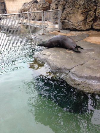 Waikiki Aquarium: The seal flopping into the water