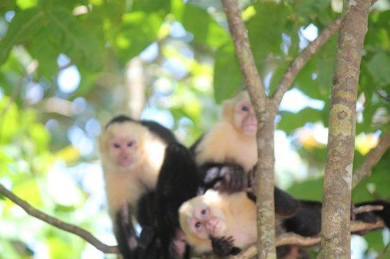 Playa Manuel Antonio: Monkeys hang out near the beaches