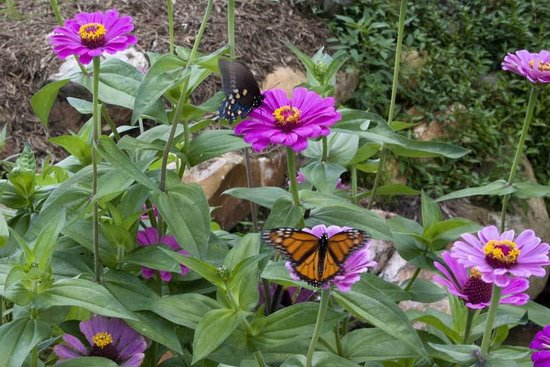 Trails End RV Park : Zinnias and Butterflies