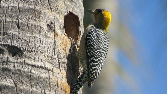 Club Regina Puerto Vallarta: Woodpecker coming to feed mama