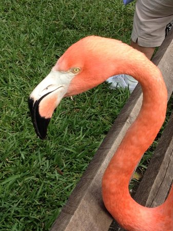 Sarasota Jungle Gardens : Flamingo up close and personal