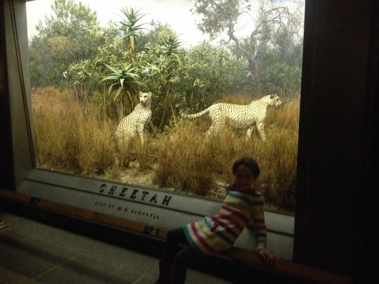 American Museum of Natural History : and kids love the giant dioramas