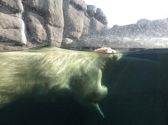 Copenhagen Zoo: Isbjørn i nyt anlæg.