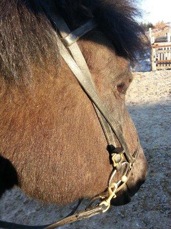 Islenski Hesturinn, The Icelandic Horse - Riding Tours: My ride