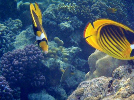 Royal Grand Sharm Hotel: Raccoon Butterfly fish