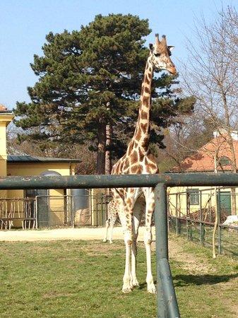 Tiergarten Schoenbrunn - Zoo Vienna : жираф