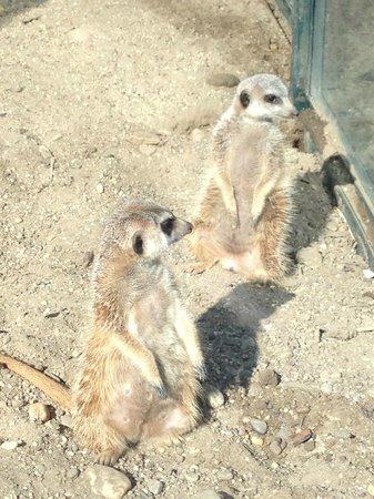 Tiergarten Schoenbrunn - Zoo Vienna : сурикаты