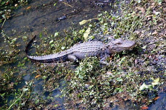 Lazy Gator : Say hello to our little friend!
