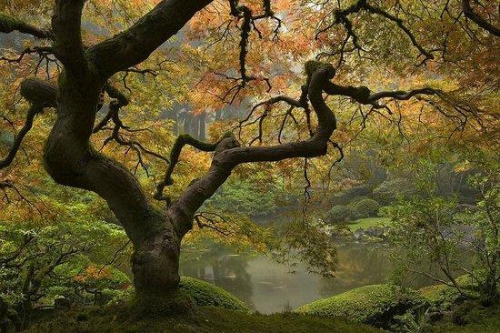 Iconic Tree In Fall At The Portland Japanese Garden David Cobb Photo Portland Japanese