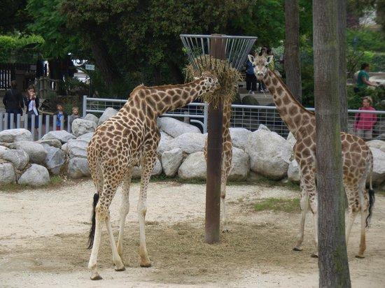Zoo de la Palmyre : Zoo Palmyre, girafes