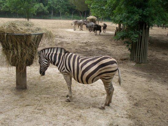 Zoo de la Palmyre : Zoo Palmyre, zébres