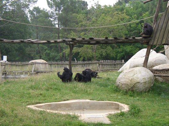 Zoo de la Palmyre : Zoo Palmyre, chimpanzés