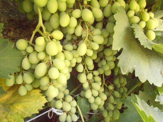Alojamiento Rural Torre Hueca: uvas de las parras que rodean el huerto